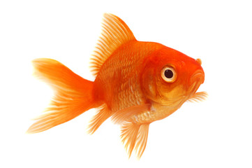 Orange Goldfish on White