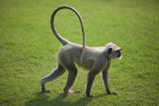 Monkey langur or hanuman on the green grass in India