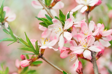 Apple tree brunch. Spring  blossom.