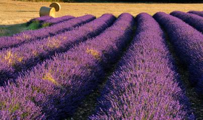 Garden Poster Lavender lavande 5