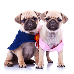 princess and champion pug puppy dogs