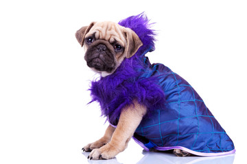 side view of a dressed pug puppy dog