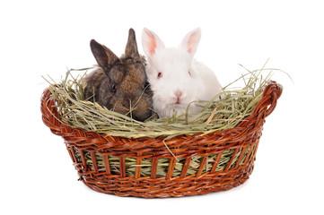 white and grey baby rabbit