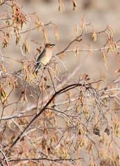 Cedar Waxwing (Bombycilla cedrorum) Bird in Golden Trees