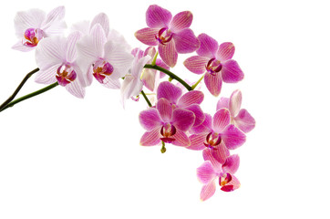 Printed roller blinds Orchid Orchideenrispen