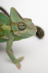 Chameleon face extreme closeup