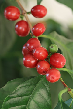 Coffea arabica, coffee tree, Kaffeekirschen