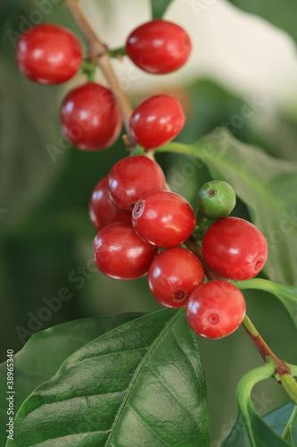 coffea arabica coffee tree kaffeekirschen stockfotos. Black Bedroom Furniture Sets. Home Design Ideas
