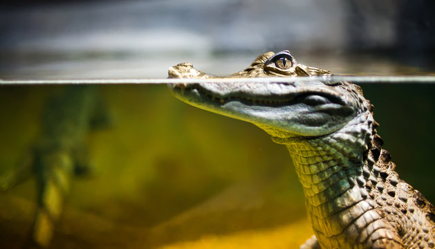 Close up of spectacled caiman in water
