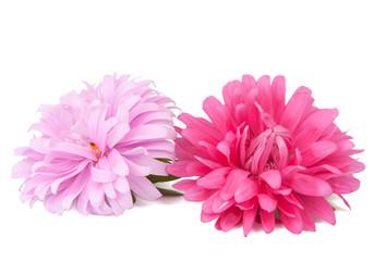 Poster de jardin Dahlia pink aster isolated