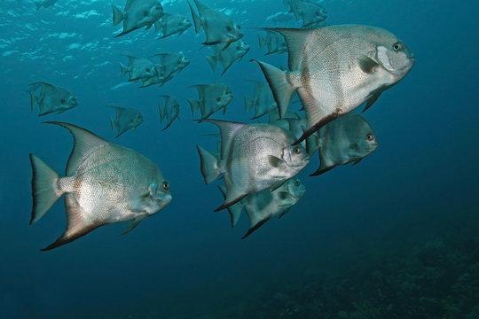 Atlantic Spadefish (Chaetodipterus faber) - Cozumel