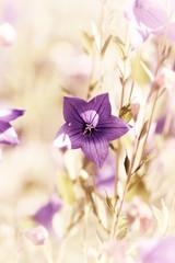Wall Mural - Purple Bellflower