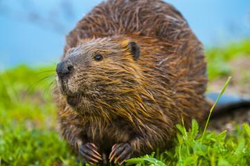 Wild Beaver