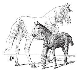 Foal, vintage engraving.