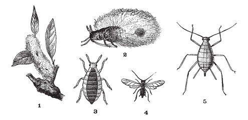 Aphids or plant lice, 1. Woolly adelgid. 2. Woolly adelgid. 3. R