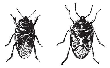 Black bug, Orne Bug, vintage engraving.
