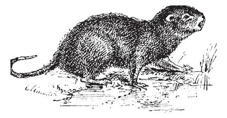 Water Rat, vintage engraving.
