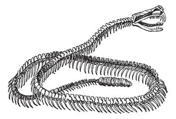 Reptile, Rattlesnake Skeleton, vintage engraving.