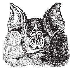 Horseshoe bats (Rhinolophidae), vintage engraving.