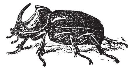European Rhinoceros beetle (Oryctes nasicornis), vintage engravi