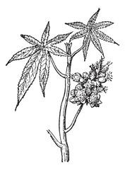 Castor common or Castor oil plant, vintage engraving.