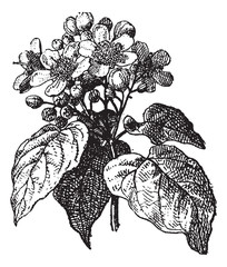 Annatto or Achiote (Bixa orellana), vintage engraving.