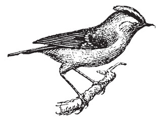 Wren perched on branch, vintage engraving.