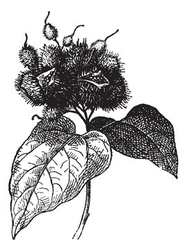 Annatto (fruit) or Roucou, vintage engraving.