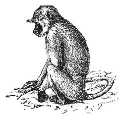 Gray langurs or Semnopithecus, vintage engraving.
