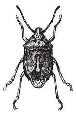 Fig 13. Bug, vintage engraving.