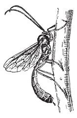 Ichneumon wasp or Ichneumon vintage engraving