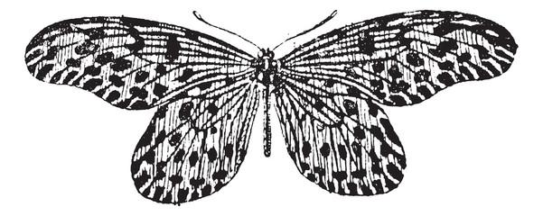 Tree-nymph or Idea lynceus vintage engraving