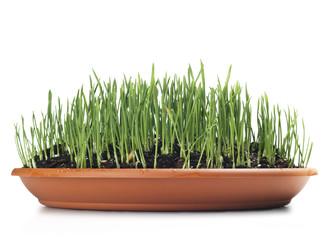 wheat grown