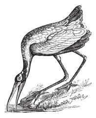 Wood Stork (Tantalus loculator) or Mycteria americana, vintage e