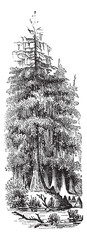 Taxodier couplet (Taxodium distichum) or Bald-cypress, vintage e