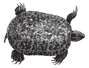 Red-bellied turtle (ptychemys rugosa), vintage engraving.