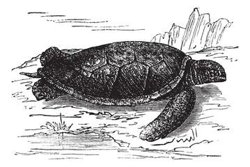 Green Sea Turtle or Chelonia mydas, vintage engraving