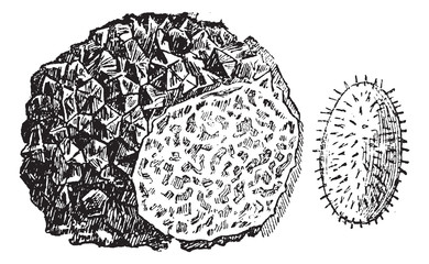 Truffle or Tuber sp., vintage engraving