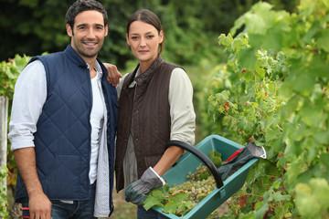 Couple picking grape vines