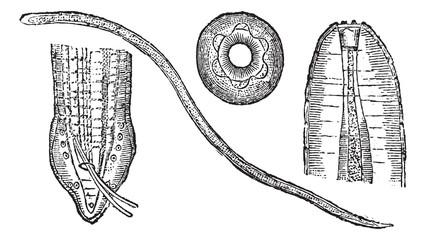 Spiruroid Worm or Spirocerca lupi, vintage engraving