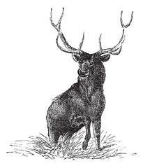 Elk or Wapiti or Cervus canadensis, vintage engraving