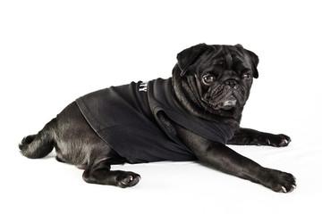 Black pug in black shirt