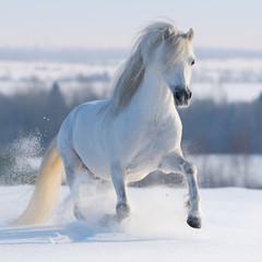 Fototapete - Galloping white horse