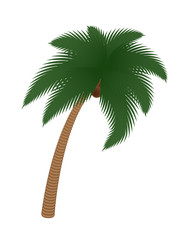 coconut palm tree isolated on white vector illustration