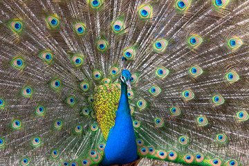 Peacock displaying his colorful feathered tail