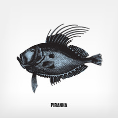 Engraving vintage Piranha illutration.