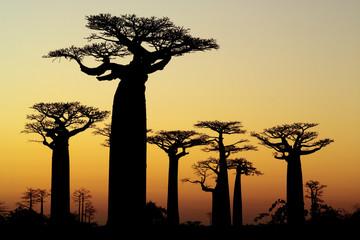 Fotorolgordijn Baobab baobab sunset silhouette