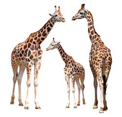Photo sur Aluminium Girafe giraffes isolated