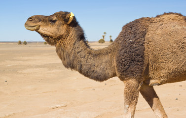 camel in the Sahara desert