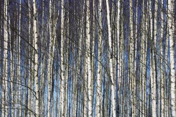 Keuken foto achterwand Berkbosje Trees full frame